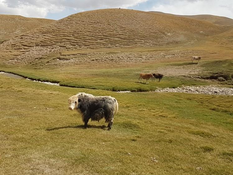 Yak Kirgizië bergen kamperen